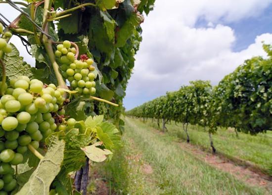 vino-Colli di Rimini