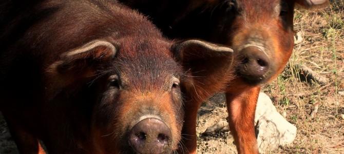 Il maiale: animale sacro della cucina romagnola.